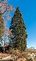 Klagenfurt Villacher Vorstadt Botanischer Garten Sequoiadendron giganteum 29012018 2492.jpg