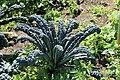 Kluse - Brassica oleracea var. palmifolia - Ostfriesische Palme 01 ies.jpg
