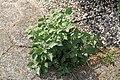 Kluse - Solanum nigrum - Schwarzer Nachtschatten 13 ies.jpg