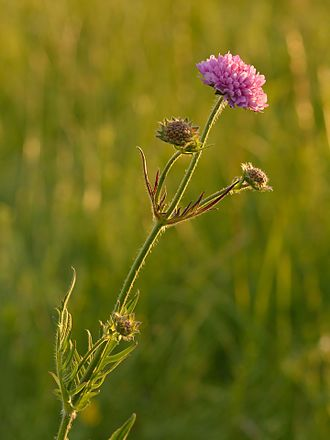 Knautia arvensis - Image: Knautia arvensis harilik äiatar