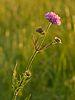 Knautia arvensis - harilik äiatar.jpg