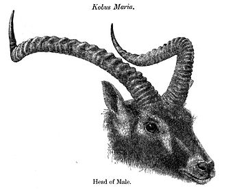 Nile lechwe - Head from the description by Gray as Kobus maria