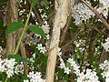 Kolkwitzia amabilis in Jardin des Plantes of Paris 08.jpg