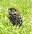 Koltrast Blackbird (20164036659).jpg