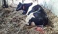 Kuh mit Nachgeburt.jpg