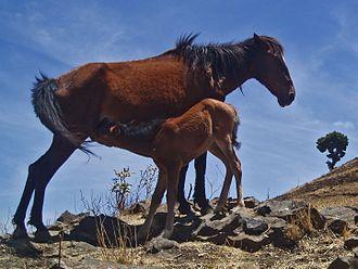 Ethiopian horses - Kundudo mare with foal