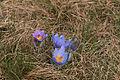 Kvetoucí koniklece v PP Kobylinec 02.jpg