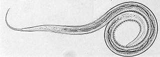 <i>Cooperia oncophora</i> species of Secernentea