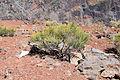 La Palma - El Paso - Roque de los Muchachos + Genista benehoavensis 01 ies.jpg