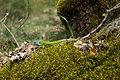 Lacerta schreiberi 06 by-dpc.jpg