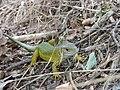 Lacerta viridis (15146750176).jpg