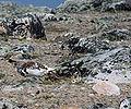 Lagopus leucura Whistlers Mt.jpg