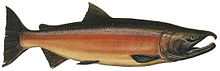 Lake Washington Ship Canal Fish Ladder pamphlet - male freshwater phase Coho.jpg