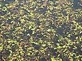 Lake surface, (former) Walltown Quarry - geograph.org.uk - 578238.jpg