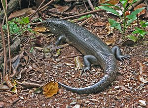 Riesen-Stachelskink (Bellatorias major), Lamington NP, Queensland (Australien)