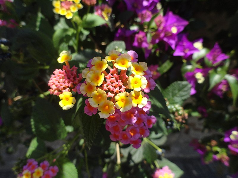Lantana flowers, Cefalú, Sicily