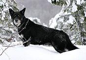 Lapskvallhund.jpg