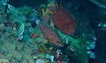 Large-toothed Cardinalfish (Cheilodipterus macrodon) (8457080825).jpg