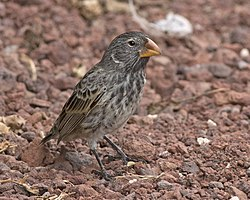 Large Ground Finch.jpg