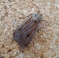 Large Yellow Underwing Female. Noctua pronuba - Flickr - gailhampshire.jpg