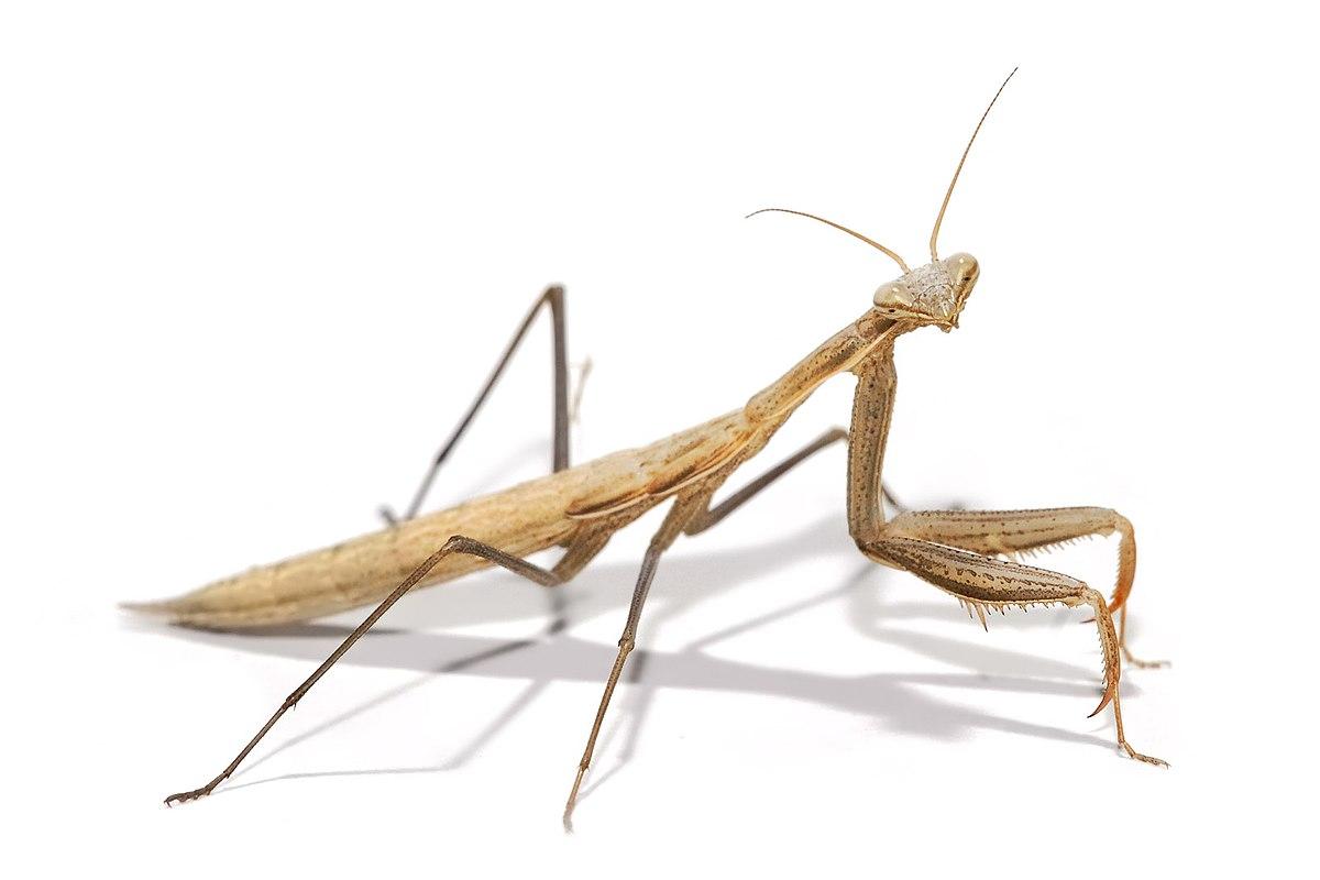 Mantidae Wikipedia