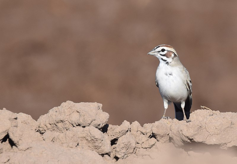 File:Lark Sparrow (33767249061).jpg