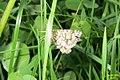 Latticed heath (Hav) (7978960196).jpg