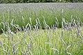 Lavandula angustifolia (24).jpg