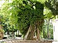Le plus vieil arbre de Paris.JPG