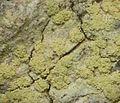 Lecanora floridula - Flickr - pellaea (1).jpg