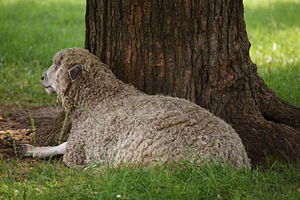 English Leicester sheep - A Leicester Longwool at Colonial Williamsburg