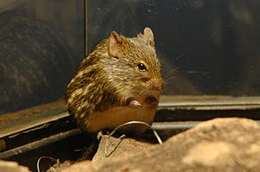 Description de l'image Lemniscomys striatus 01.jpg.