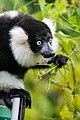 Lemur (26773356219).jpg