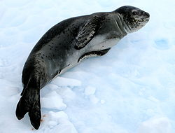 Leopard seal (Hydrurga leptonyx).jpg