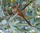 Leptastheura aegithaloides - Plain-mantled tit-spinetail.jpg