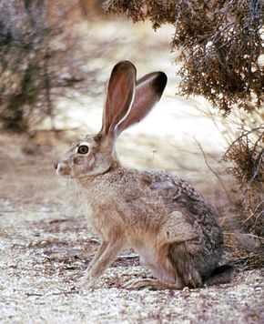 Description de l'image Lepus californicus.jpg.