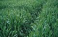 Les Plantes Cultivades. Cereals. Imatge 270.jpg