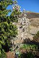 Leucadendron argenteum - Leaning Pine Arboretum - DSC05667.JPG