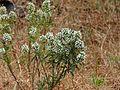 Leucas stelligera (3128043436).jpg