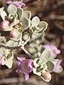 Leucophyllum frutescens84.jpg