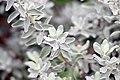 Leucophyllum frutescens 14zz.jpg