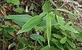 Lilium japonicum bud and leaf in Mount Nara 2011-06-19.jpg