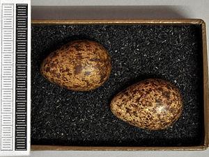 Broad-billed sandpiper - Eggs, Collection Museum Wiesbaden