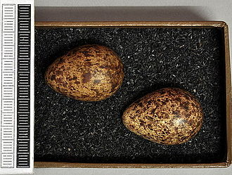 Broad-billed sandpiper - Eggs, Collection Museum Wiesbaden