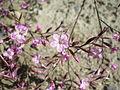 Limonium insigne (flor).jpg