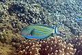 Lined surgeonfish Acanthurus lineatus (5799868897).jpg