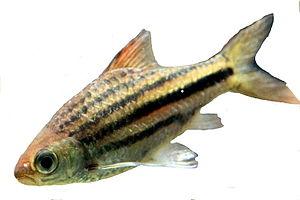 Bartellose Linienbarbe (Striuntius lineatus)