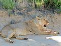 Lioness (Panthera leo) (7017821835).jpg