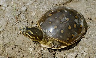 Indian flapshell turtle species of reptile