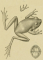 Litoria vagabunda Peters Doria 1878.png